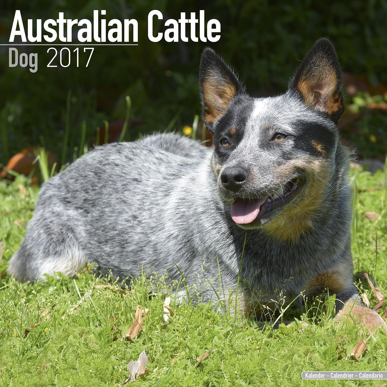 australian cattle dog tierheim