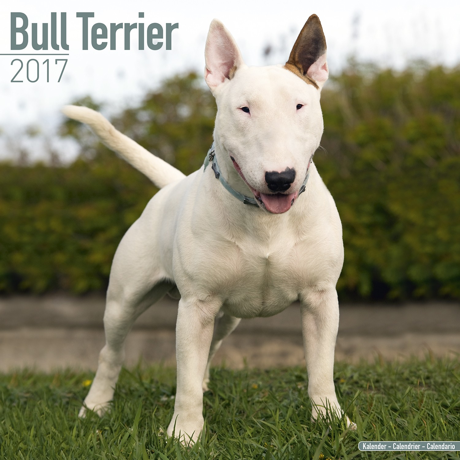 Bull Terrier Calendar ... Xxl American Bully Puppies
