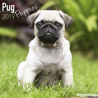 Pug Puppies Wall Calendar 2019