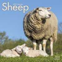 Sheep Wall Calendar 2019