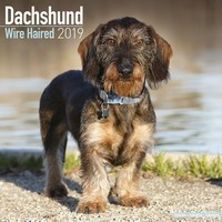 Dachshund (Wirehaired) Wall Calendar 2019