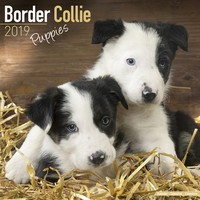 Border Collie Puppies Wall Calendar 2019