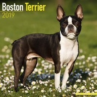 Boston Terrier Wall Calendar 2019