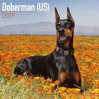 Doberman (Us) Wall Calendar 2019