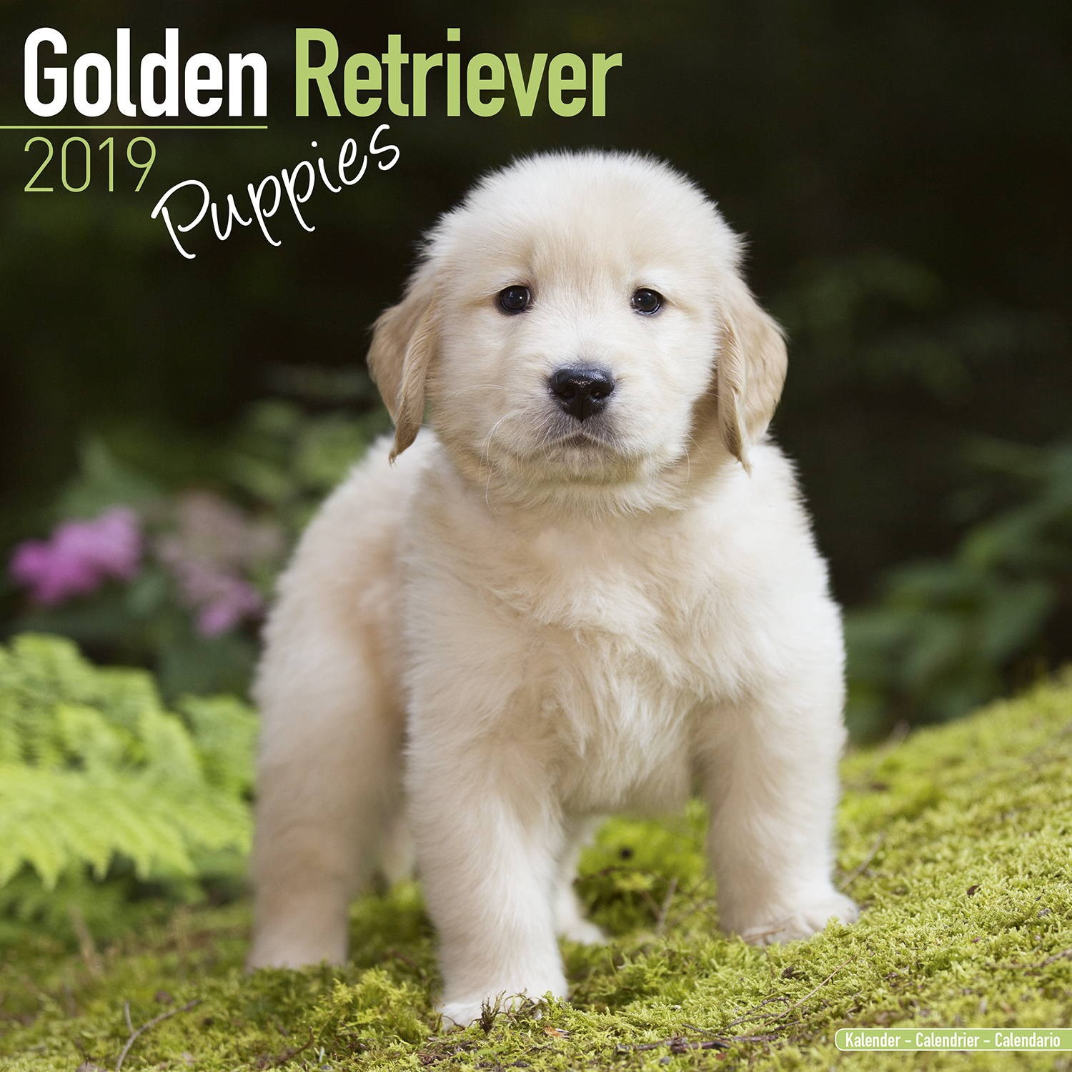 Golden Retriever Puppies Wall Calendar 2019