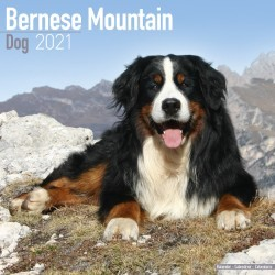 Bernese Mountain Dog Wall Calendar 2021 by Avonside