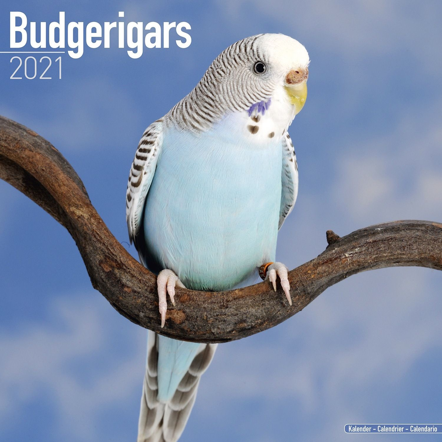 Budgerigar Wall Calendar 2021 by Avonside