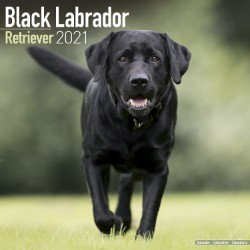 Black Labrador Retriever Wall Calendar 2021 by Avonside