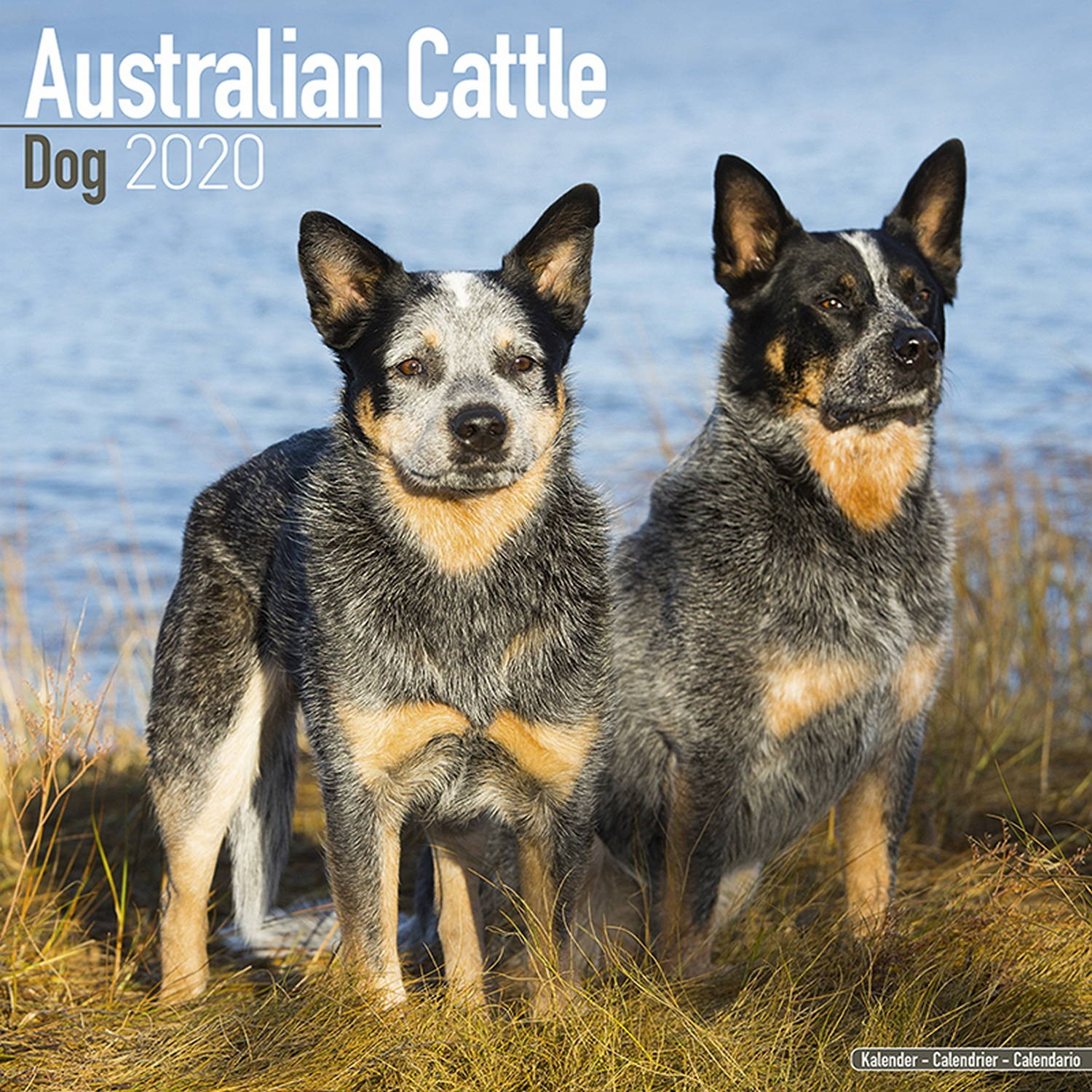 Australian Cattle Dog Wall Calendar 2020