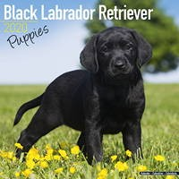 Black Labrador Puppies Wall Calendar 2020