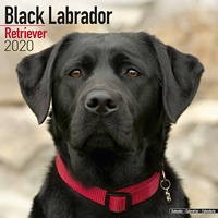 Black Labrador Retriever Wall Calendar 2020