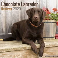 Chocolate Lab Retriever Wall Calendar 2020
