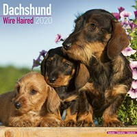Dachshund (Wirehaired) Wall Calendar 2020