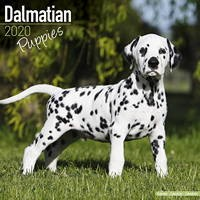Dalmatian Puppies Wall Calendar 2020