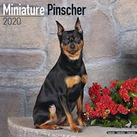 Miniature Pinscher Wall Calendar 2020