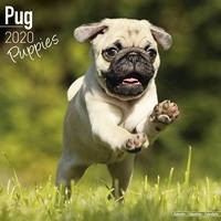 Pug Puppies Wall Calendar 2020