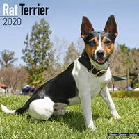 Rat Terrier Wall Calendar 2020
