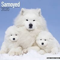Samoyed Wall Calendar 2020