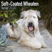 Softcoat Wheaten Terrier Wall Calendar 2020
