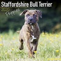 Staffordshire Bull Terrier Puppies Wall Calendar 2020