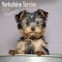 Yorkshire Terrier Puppies Wall Calendar 2020