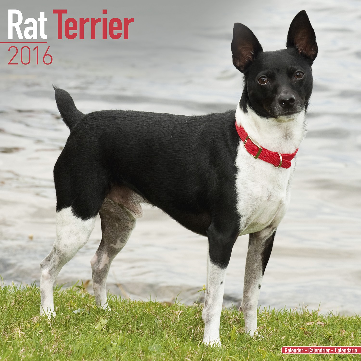 rat terrier price rat terrier calendar 2016 pet prints inc 7114