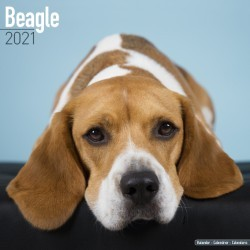 Beagle Wall Calendar 2021 by Avonside