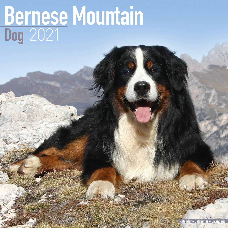 Bernese Mountain Dog Calendar, Dog Breed Calendars | Pet Prints Inc