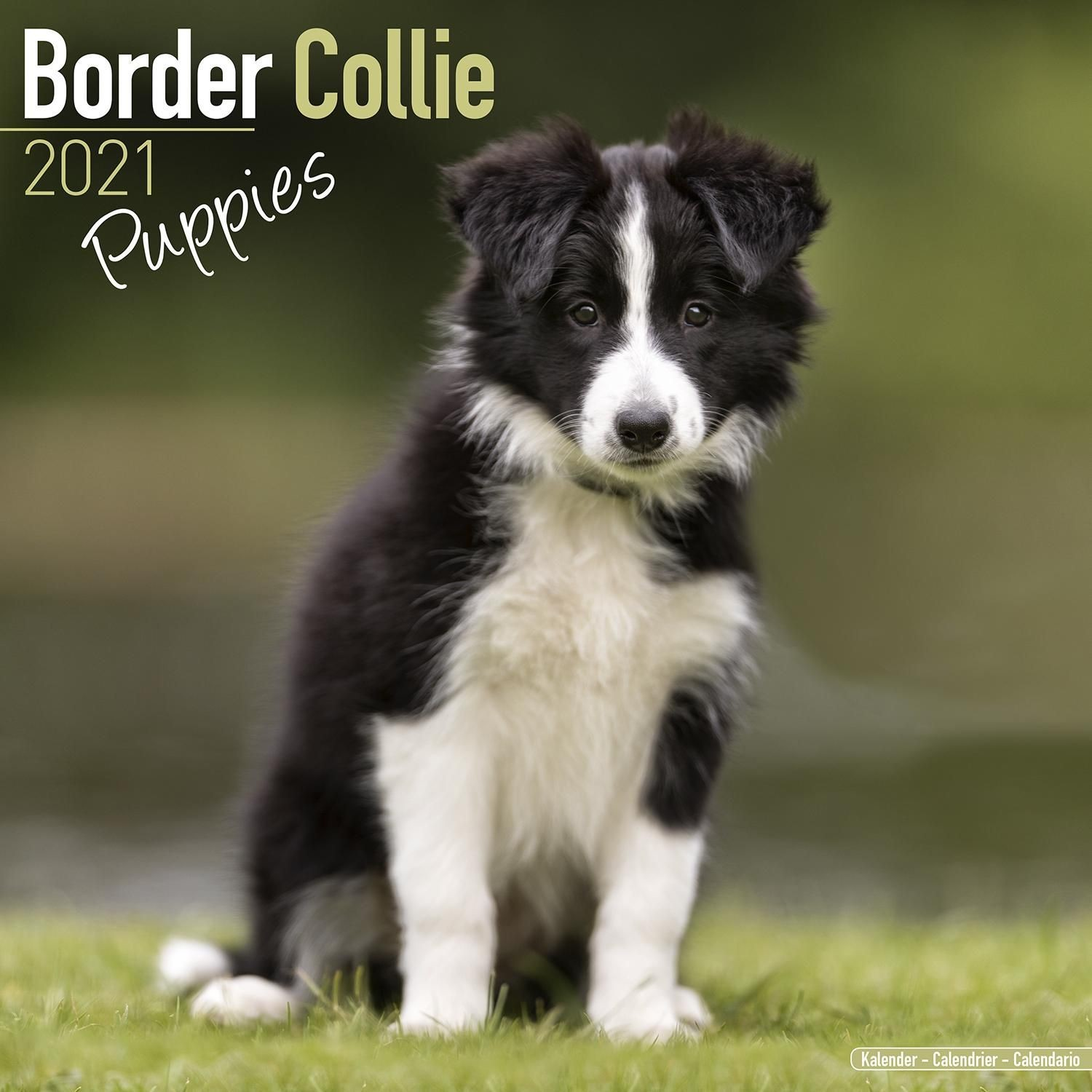 Border Collie Puppies Wall Calendar 2021 by Avonside