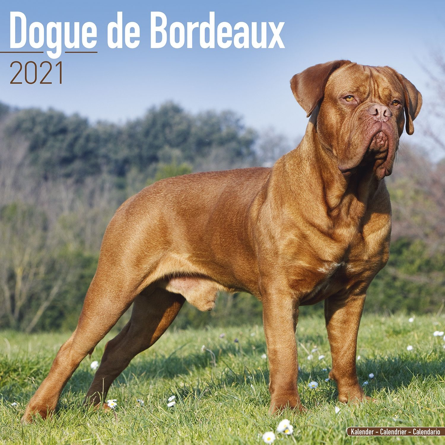 Dogue De Bordeaux Wall Calendar 2021 by Avonside