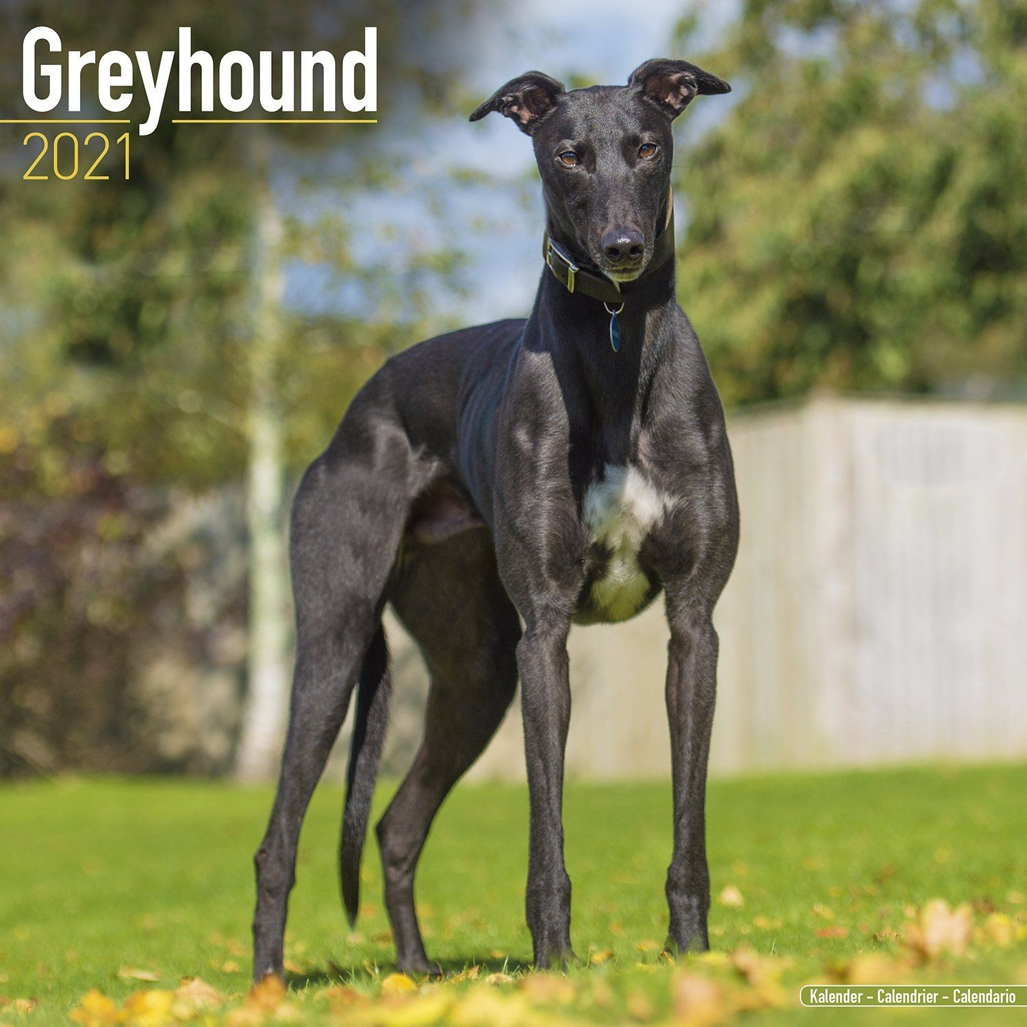 Greyhound Wall Calendar 2021 by Avonside