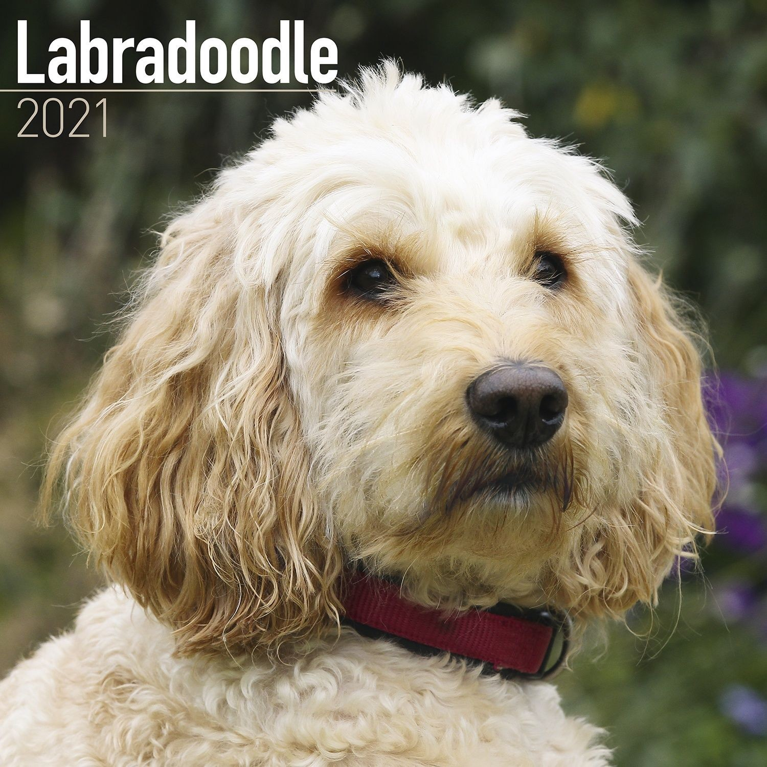 Labradoodle Wall Calendar 2021 by Avonside