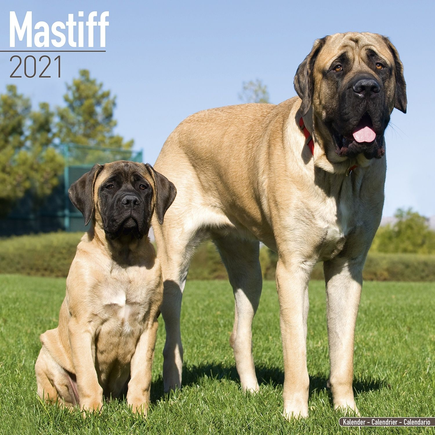 Mastiff Wall Calendar 2021 by Avonside