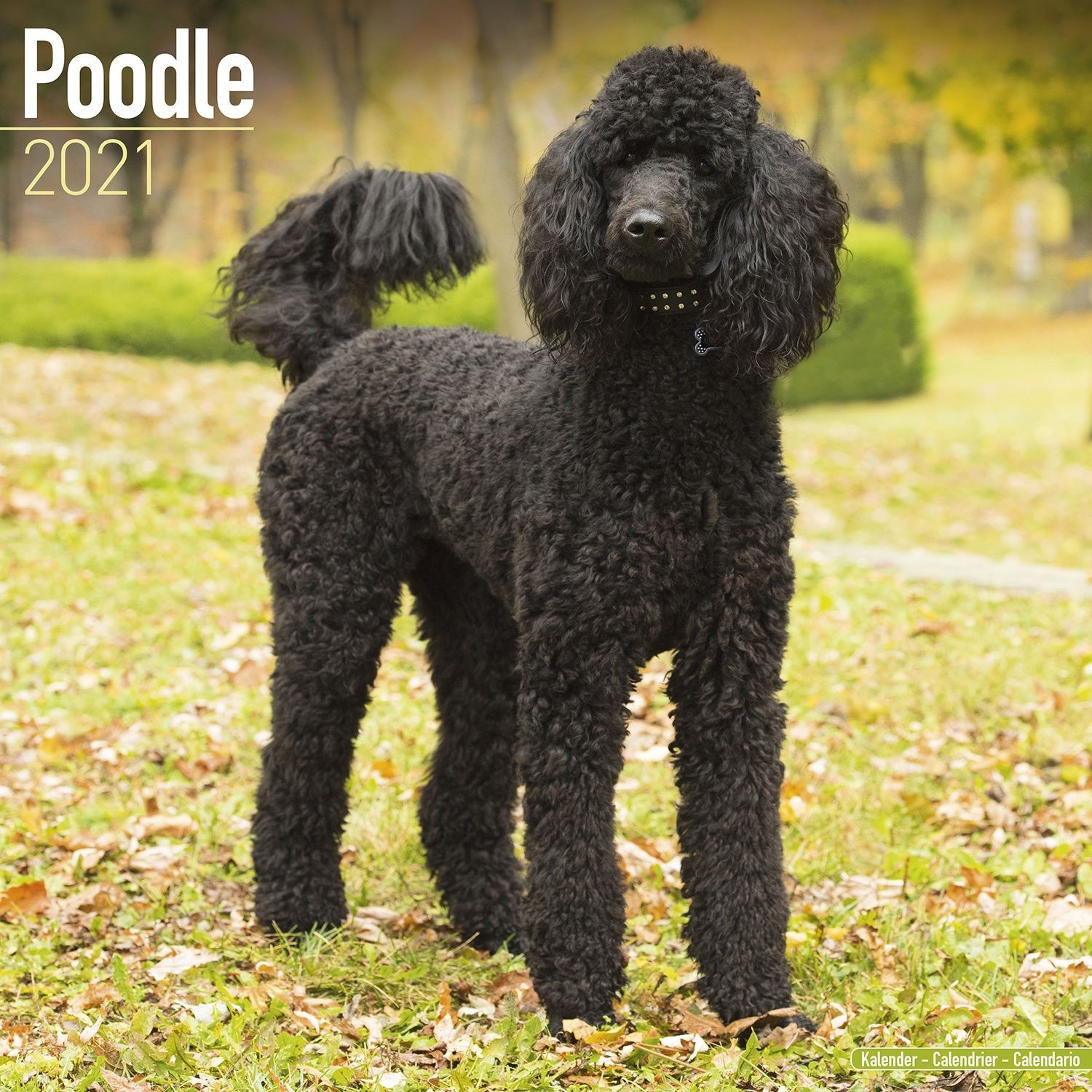 Poodle Wall Calendar 2021 by Avonside